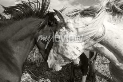 Фотообои Две лошади приветствуют друг друга