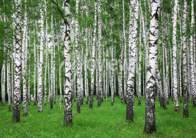 Фотообои Летний березовый лес