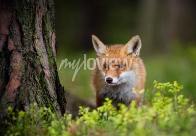 Фотообои Фокс охота в лесу Европы