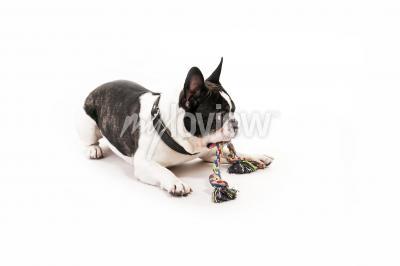 Фотообои Собака с игрушкой на белом фоне