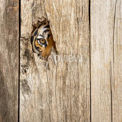 Фотообои Siberian tiger eye in wooden hole in concept of secretly dangerous